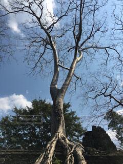 アンコールワットにあった樹木の写真・画像素材[1837316]