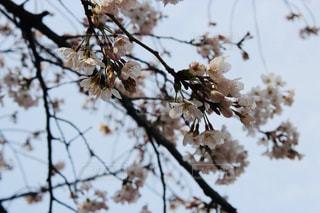桜の木の写真・画像素材[1883137]