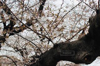 桜の木の写真・画像素材[1883149]