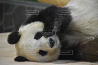白い面の上に横たわるパンダの写真・画像素材[1841096]