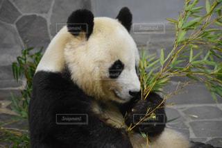 パンダのクマの写真・画像素材[1841105]