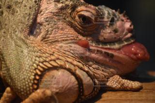 近くに爬虫類のアップの写真・画像素材[1841113]