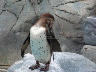 新潟市水族館マリンピア日本海のペンギンの写真・画像素材[1855293]