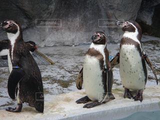 新潟市水族館マリンピア日本海のペンギンの写真・画像素材[1855319]