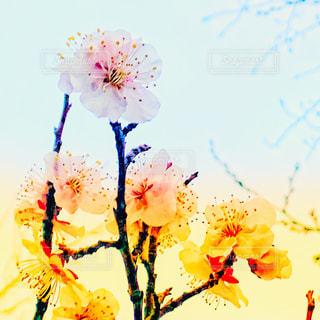 梅の花の写真・画像素材[1834785]