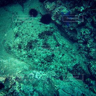 巨大ヒラメの写真・画像素材[1835960]