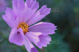 紫色の花の写真・画像素材[1837859]