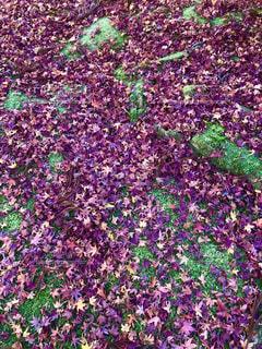 苔の上の落ち葉の写真・画像素材[1839176]