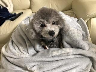 ベッドの上で横になっている愛犬の写真・画像素材[1840556]