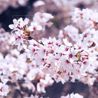 お花見の写真・画像素材[1840200]