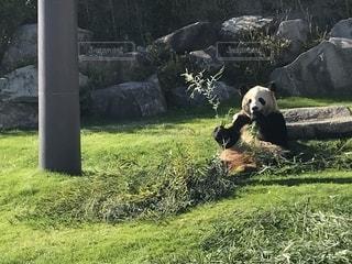 パンダの写真・画像素材[1839518]