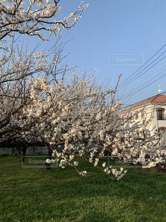 建物背景の梅の木の写真・画像素材[1839768]