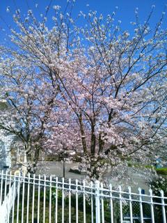 伊豆高原の桜の写真・画像素材[1842992]