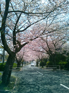 伊豆高原の桜の写真・画像素材[1842993]
