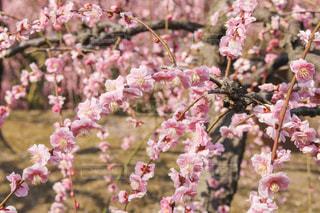しだれ梅の写真・画像素材[1840352]