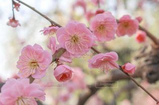 しだれ梅の写真・画像素材[1840354]