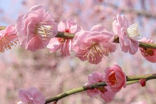 しだれ梅の写真・画像素材[1840355]