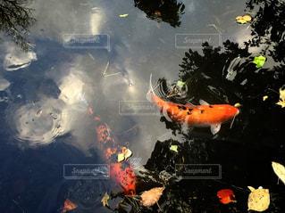 鯉の写真・画像素材[1852507]
