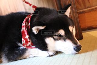 黒と白の犬の写真・画像素材[2095463]