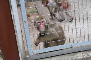 かごの中の猿の写真・画像素材[2095874]