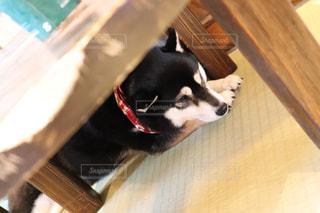 木製のテーブルの下で寝ている犬の写真・画像素材[2095888]