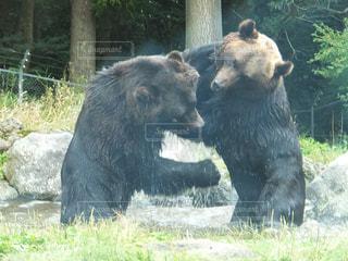 熊のケンカの写真・画像素材[1841081]