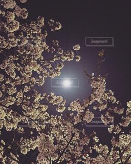 夜桜の写真・画像素材[1850964]