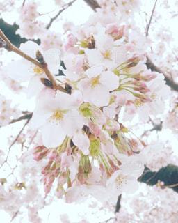 雨の日の桜の写真・画像素材[1877377]