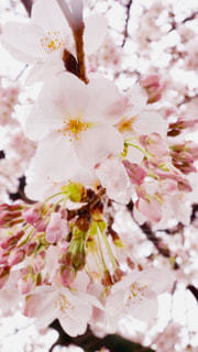 雨の日の桜の写真・画像素材[1877378]