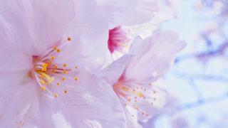 桜の写真・画像素材[1976946]