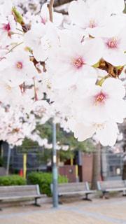 公園の桜の写真・画像素材[1976947]