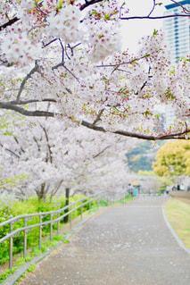 春の散歩道の写真・画像素材[2026920]