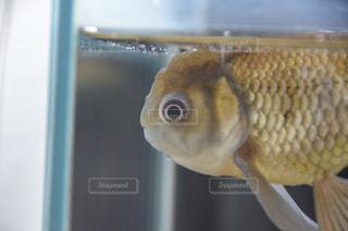 青文魚の写真・画像素材[1847251]