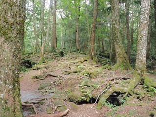 富岳風穴近くの樹海の写真・画像素材[1851759]