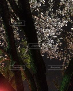 力強い幹も美しい桜の写真・画像素材[1842620]