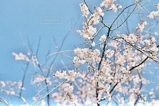 桜の写真・画像素材[3309147]