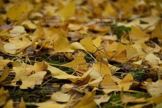 イチョウの落ち葉の写真・画像素材[1845552]