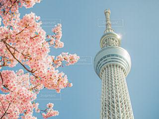 春の東京スカイツリーの写真・画像素材[2987932]