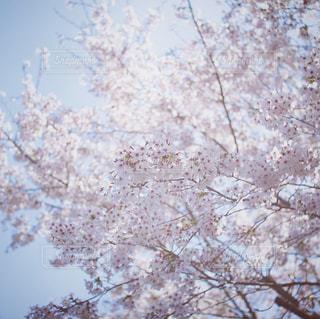 桜のクローズアップの写真・画像素材[2263171]
