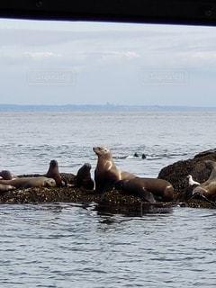 海に居たシーライオン アザラシ達の写真・画像素材[2101196]