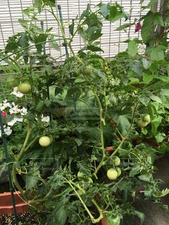 プランターのあおいトマトの写真・画像素材[2268346]