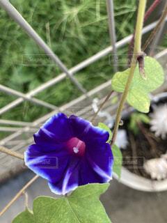 植物の上の紫色の朝顔の写真・画像素材[3738968]