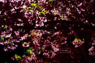 夜桜の写真・画像素材[1847068]