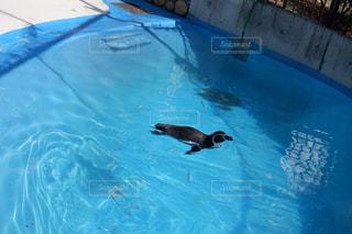 泳ぐペンギンの写真・画像素材[1847073]