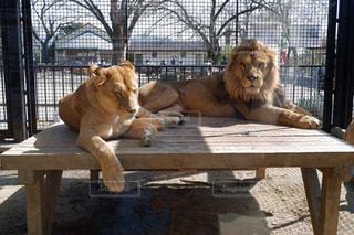木製のベンチに座っているライオンの写真・画像素材[1847074]