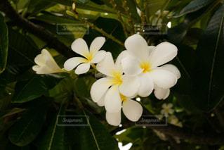 南国の白い花の写真・画像素材[1849583]
