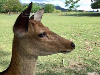 奈良公園の鹿の写真・画像素材[1848283]