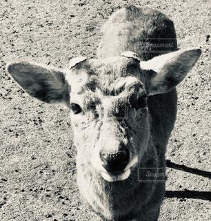 奈良公園の鹿の写真・画像素材[1848916]