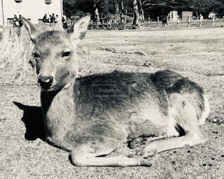 座した鹿の写真・画像素材[1849106]