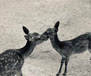 子鹿の写真・画像素材[1858600]